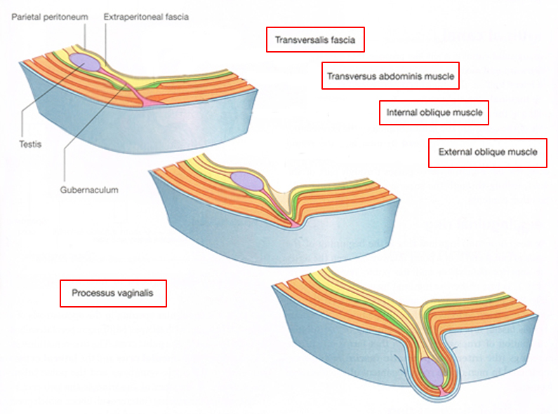2 Development Of The Inguinal Canal Nbsp Nbsp Nbsp Nbsp